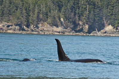 Orcas (Killer Whales) of Prince William Sound
