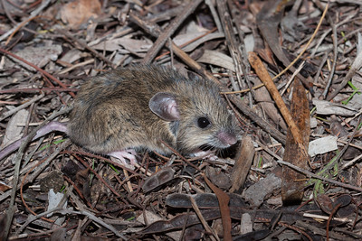 Rodents- RODENTIDAE