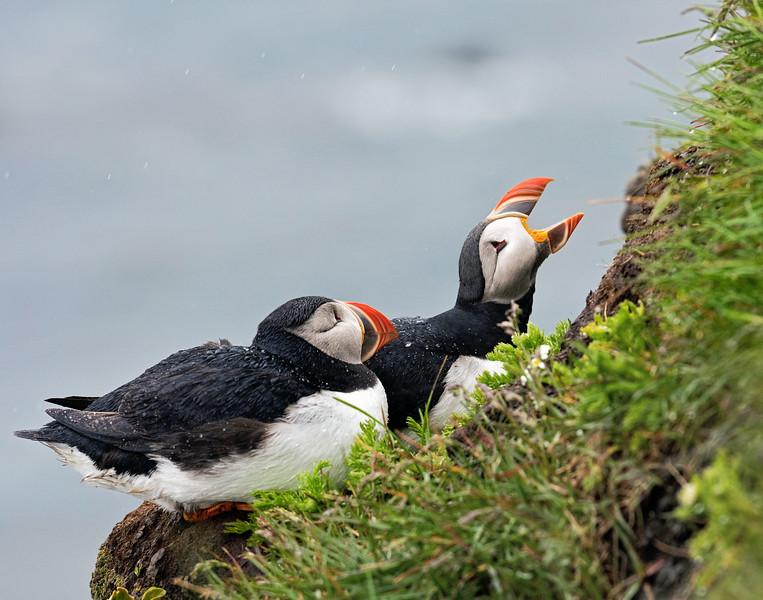 Atlantic Puffin 6
