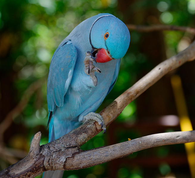 Blue Indian Ringneck Parrot - Sarasota Jungle Gardens - Sarasota Florida