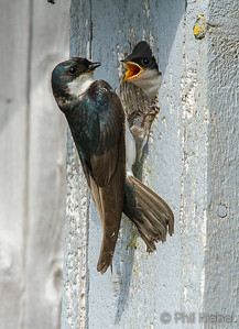 Swallows, Swifts & Allies