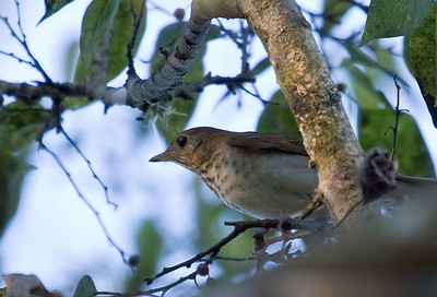Ovenbirds, Thrushes and Veerys