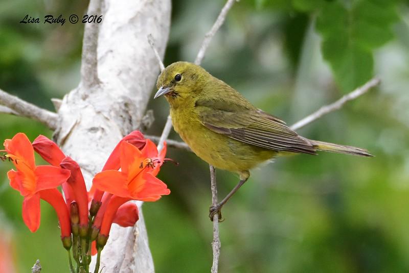 Orange-crowned Warbler  - 05/19/2016 - Point Loma Nazarene University