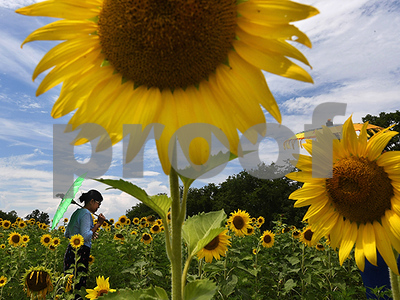 science-how-sunflowers-follow-the-sun-each-day