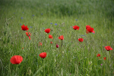 Coquelicots -1A
