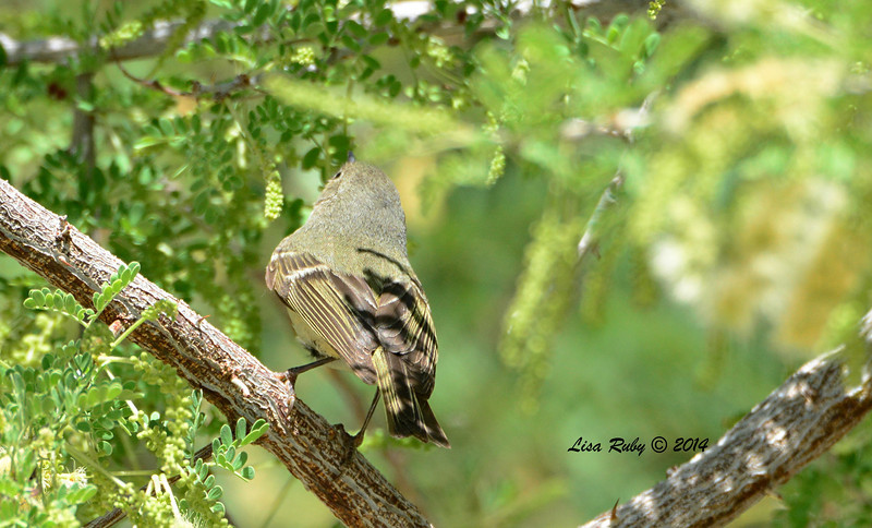 Same bird as previous photo. ID'd as a Ruby-crowned Kinglet in worn plumage?