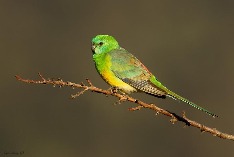 Red-rumped Parrot.jpg