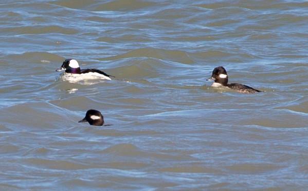 Three Bufflehead Ducks in the far distance