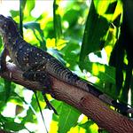 LCR_Iguana.png