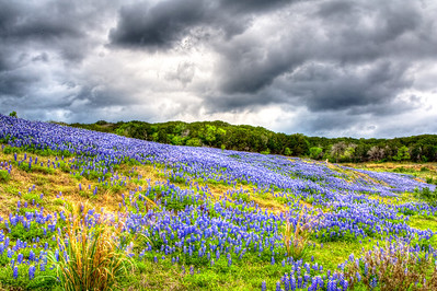 Bluebonnets at Muleshoe Bend State Park