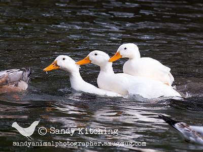 Duck pond April 2015