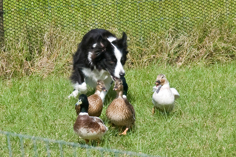#355 (Saturday) - Solo, a Border Collie, works the ducks on the Course A, Started  level.  Solo took 2nd place with a score of 81.  She is owned and handled by Carol Tague.