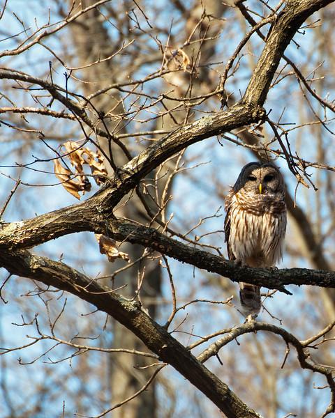 Barred Owl 1076a