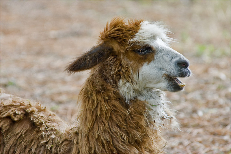 Laughing Lama
