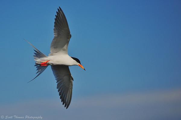 Forster's Tern (Sterna forsteri) in the Forsythe National Wildlife Refuge near Atlantic City, New Jersey.