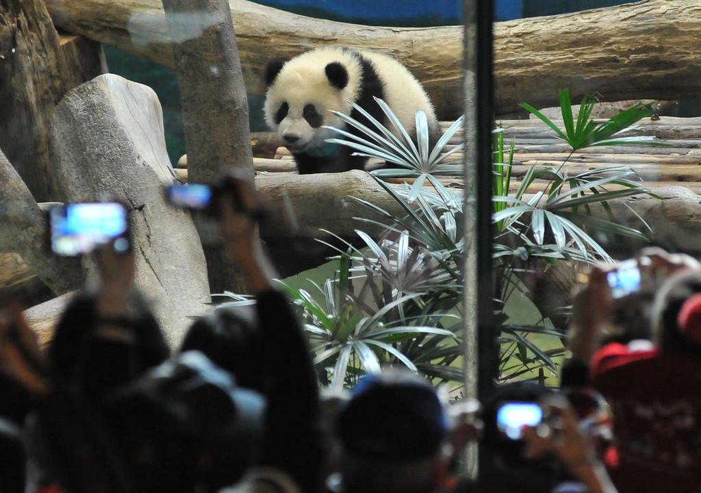. Yuan Zai , the first Taiwan-born baby panda, climbs inside its enclosure as visitors takes photos at the Taipei City Zoo on January 6, 2014.  Yuan Zai, who weighed 180 grams (6.35 ounces) at birth, now weighs about 14 kilos (31 lbs) and make made her anticipated public debut as she turned six months old.    Mandy Cheng/AFP/Getty Images