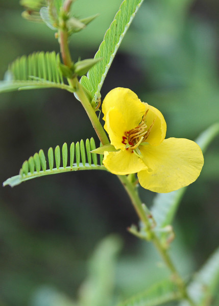 Chamaecrista fasciculata - Partridge Pea