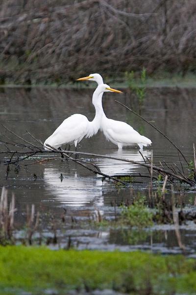 egrets-25-17.jpg