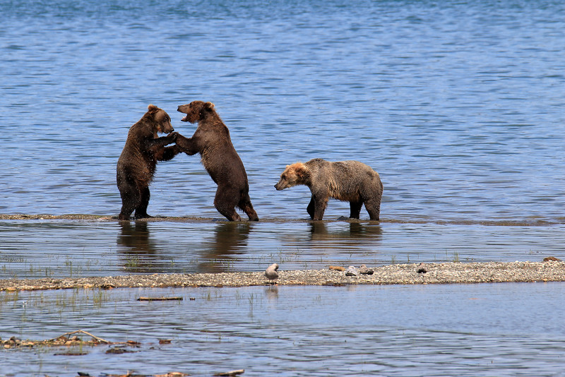 Grizzly Fight.jpg