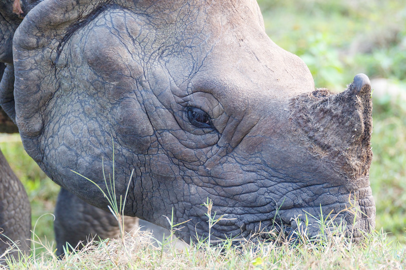 Close view of wild Indian rhinoceros (one-horned) in Chitwan National Park, Nepal, as it eats wild grass