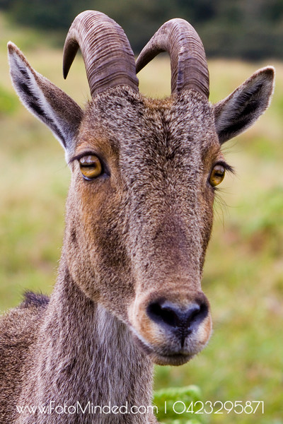 Although this goat looks wild (by its name - Wild Goat), they are very shy in nature. Hence they live away from human sight. Normally at hilly area