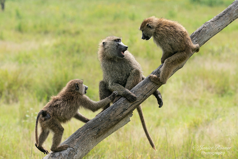 Three Baboons on a Stick