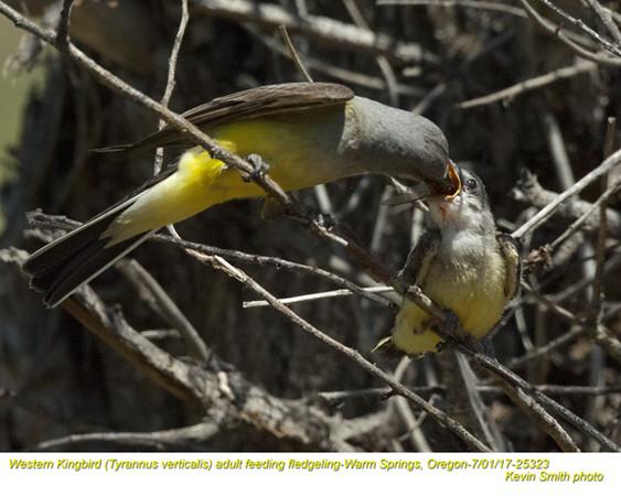 Western Kingbirds A&J25323.jpg