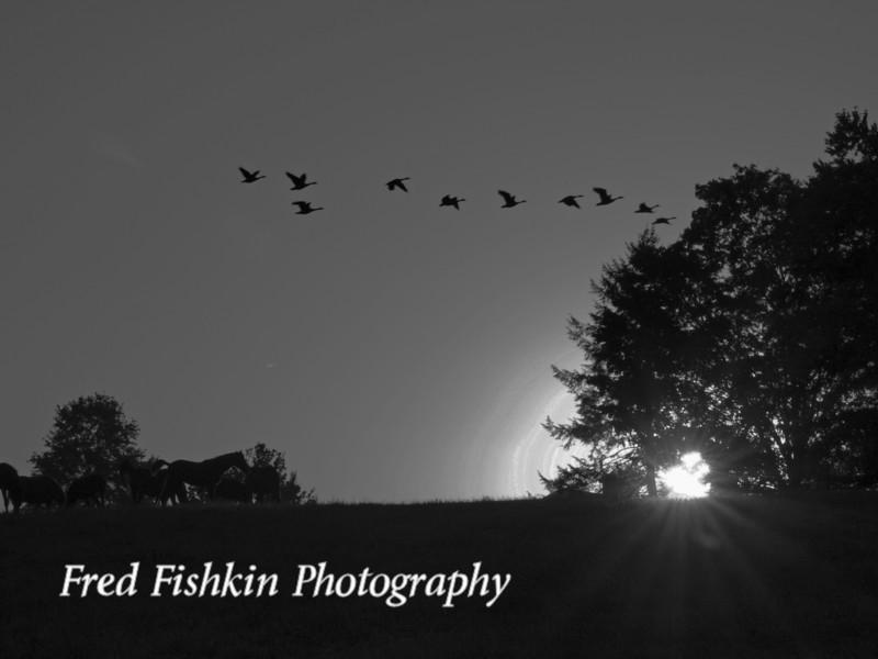 geese sunset bw.jpg