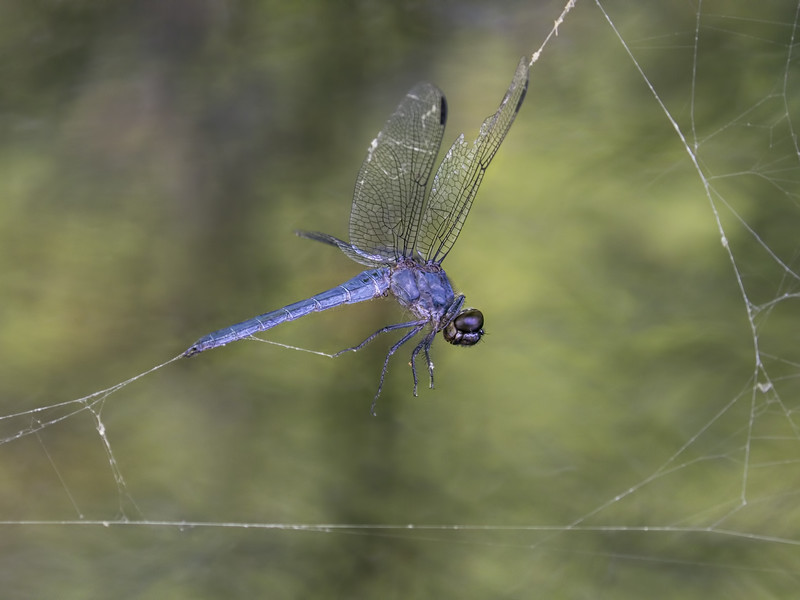 Male, trapped in spider web, Lum's Pond SP
