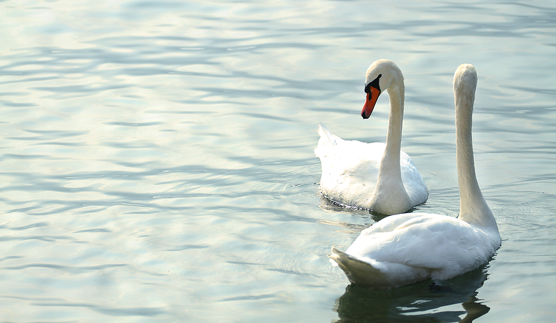 """Swans"", Varenna, Lake Como, Italy"