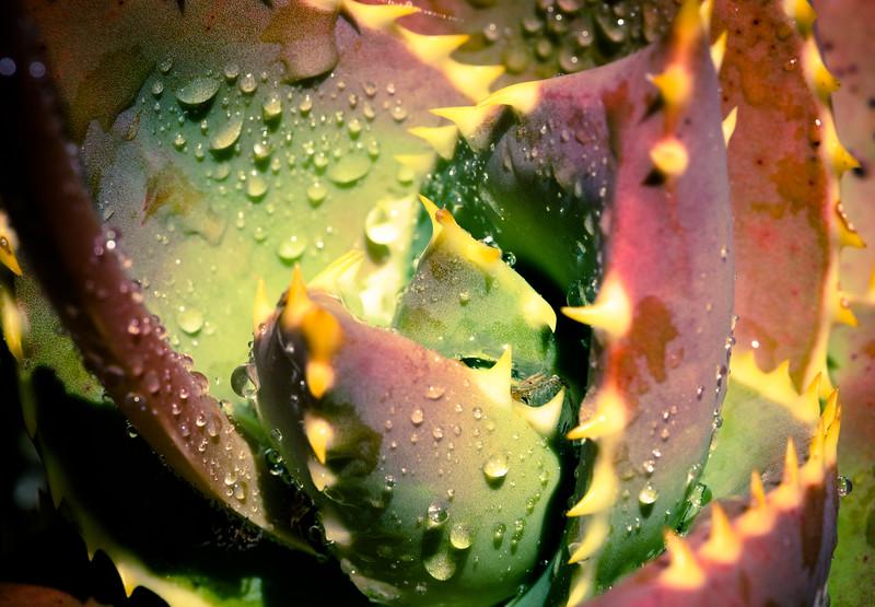 Aloe distans