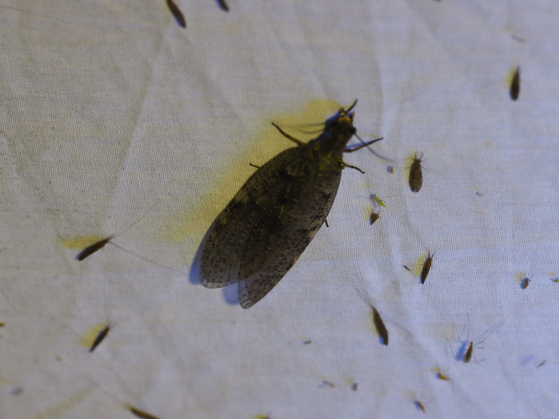 Dobsonfly - Female