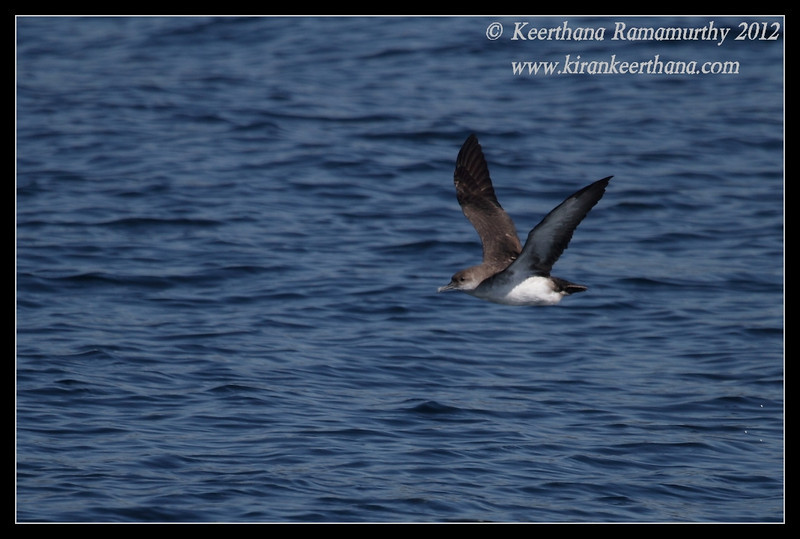 Black-vented Shearwater, Whale Watching trip, San Diego County, California, November 2012