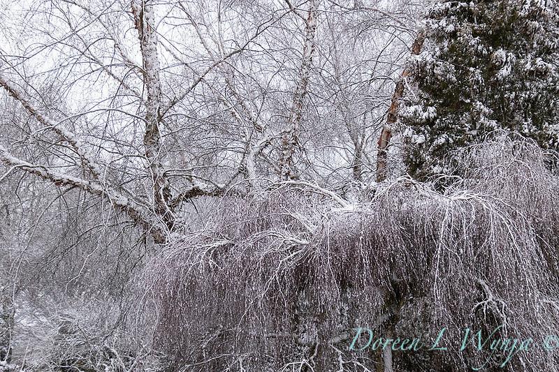 Betula pendula 'Youngii' in snow_4230.jpg