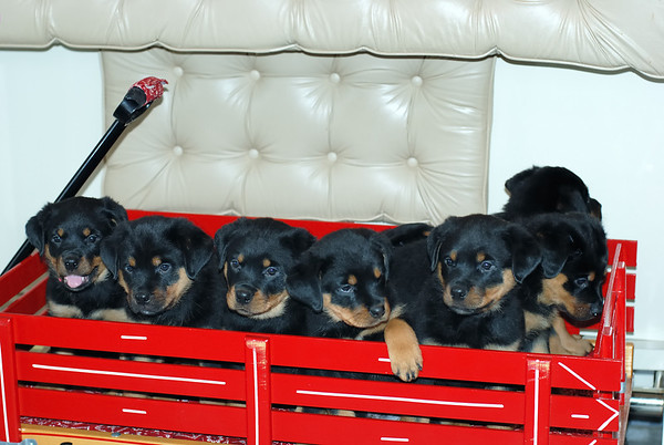"""Groff -Rottie Puppies """"Eight is Enough"""""""