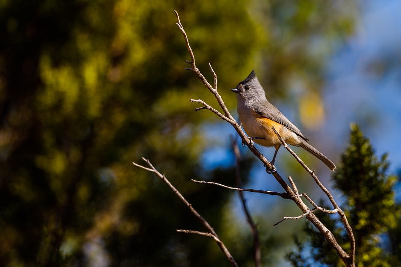 Tufted Titmouse, Palo Duro Canyon State Park (Texas)