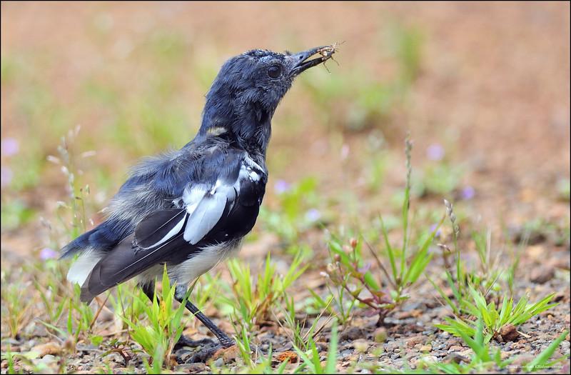 Juvenile-Oriental-Magpie-Robin.jpg