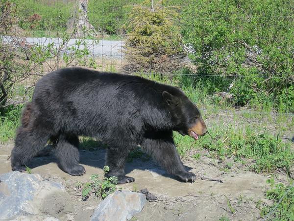 Alaska wildlife conservation center - May, 2014