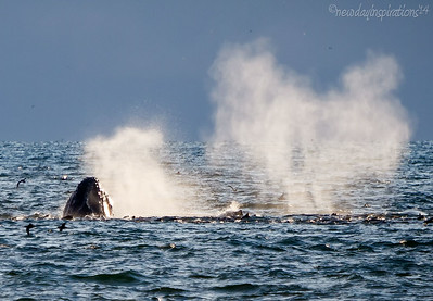 HumpbackWhales MontereyBay