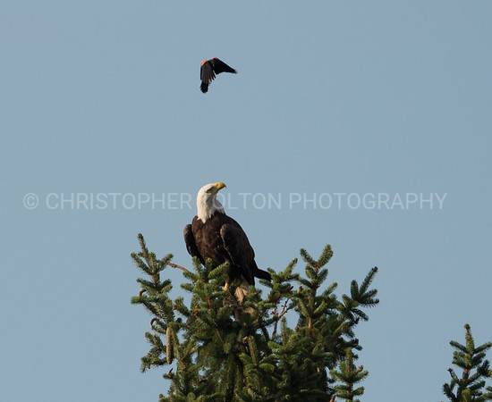 BIRD RIDING BALD EAGLE