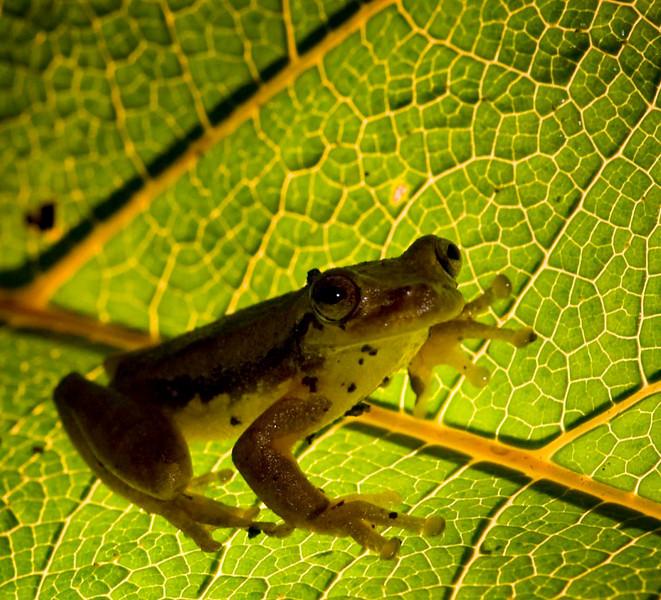 Yellow frog, Bosque de Paz Reserva Biologica