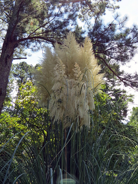 August 30:  The Pampas Grass looks great !