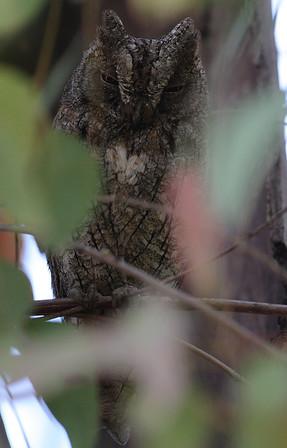 Kyläpöllönen (Otus scops)