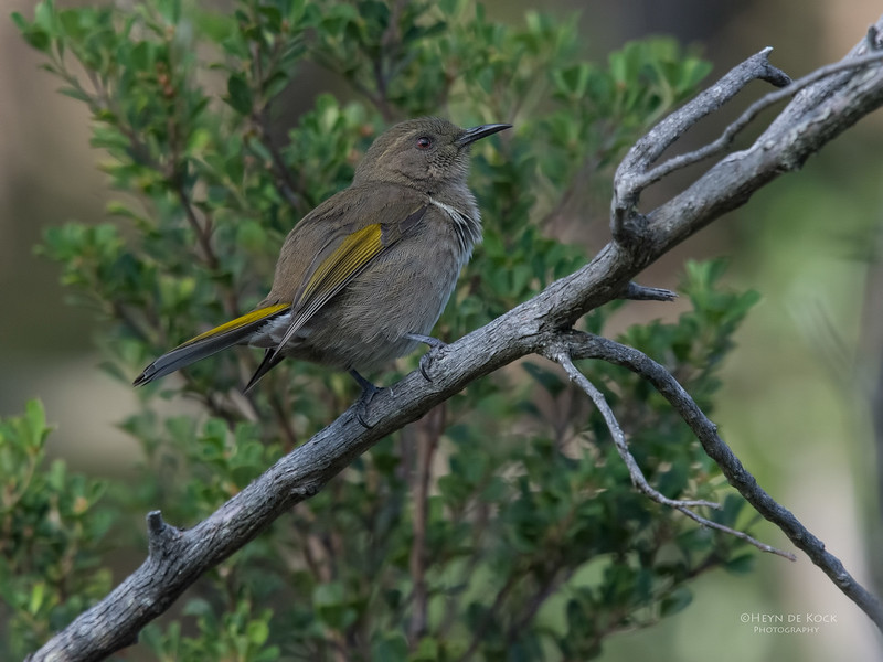 Crested Honeyeater, Eaglehawk Neck, TAS, May 2016-1.jpg