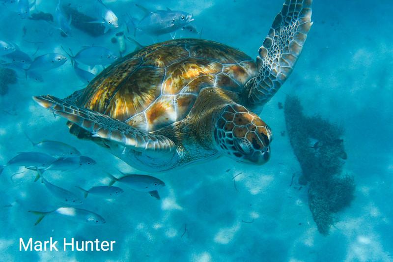 Surfacing Green Turtle