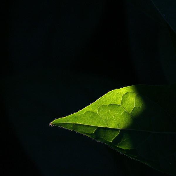 9873 Leaf Tip.jpg