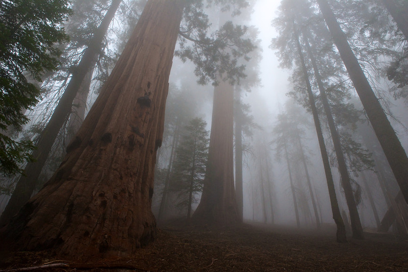 Forest in the Fog, Yosemite National Park, California