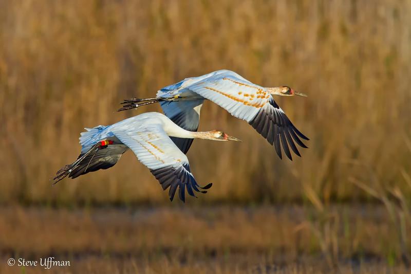 Reintroduced whooping cranes in flight