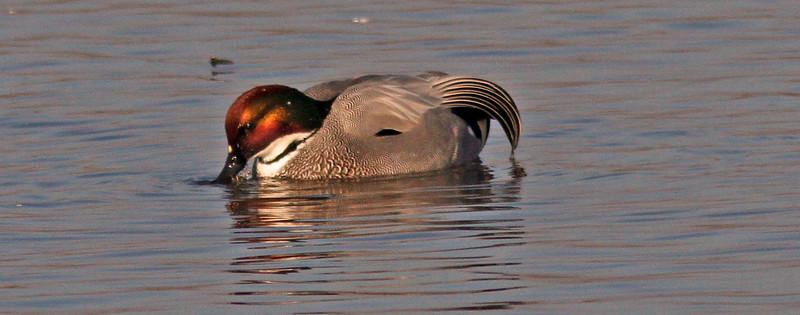 Falcated duck, Colusa