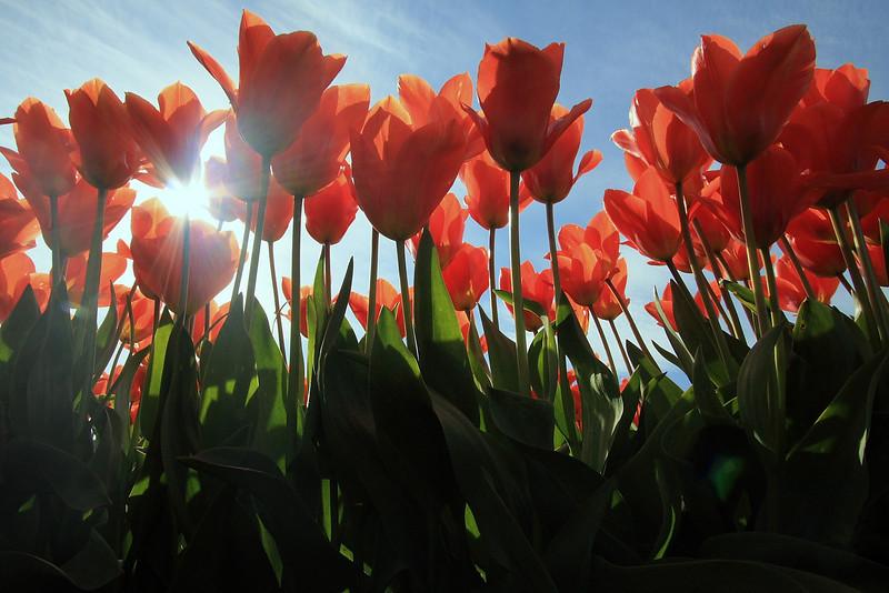 Tulips 08  21.JPG